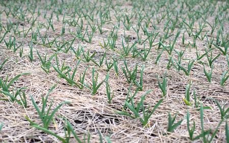 Junge Knoblauchpflanzen auf dem Feld, landwirtschaftliche Hintergrund. Kleine Sch�rfentiefe