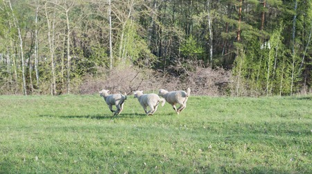 lamb grazing in rural field, sheep grazing on a green field photo