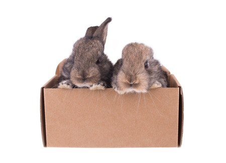 gray bunny sitting in a cardboard box on a white