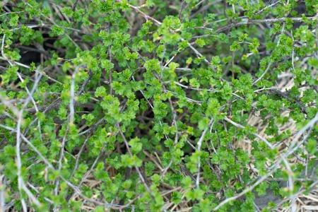 gooseberry bush: Uva spina verdi freschi su un ramo di un cespuglio di uva spina con gocce d'acqua dopo la pioggia.