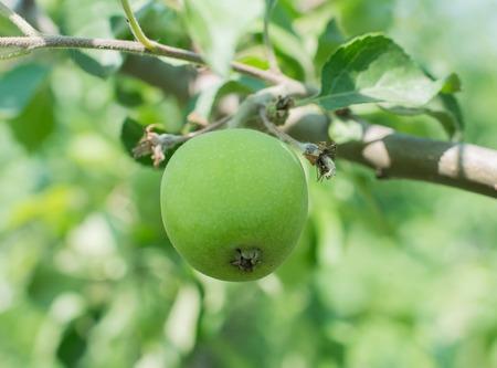 Green apples on an apple-tree branch in garden