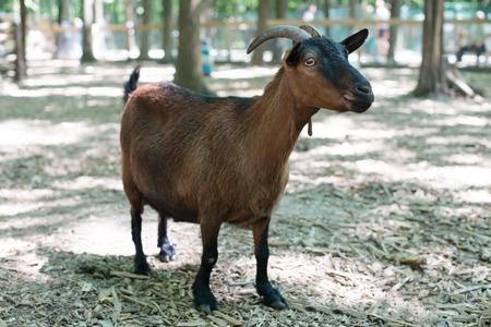 Portrait eines Ziegenbocks