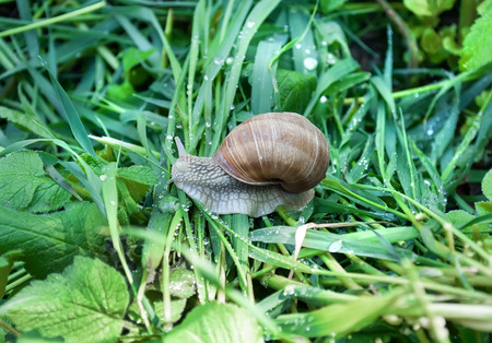 Edible snail (Helix pomatia) over a garden pond. Snails provide an easily harvested source of protein to many people around the world. Stock Photo