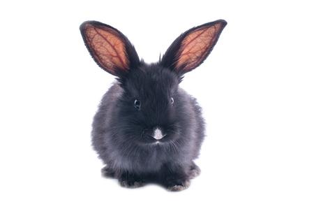 Schwarzes Kaninchen vor weißem Hintergrund . Isoliert Standard-Bild - 95909970