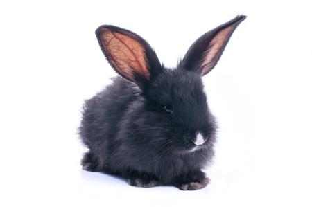 Schwarzes Kaninchen vor weißem Hintergrund . Isoliert Standard-Bild - 96406426