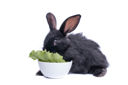 Nahaufnahme des netten schwarzen Kaninchens , das grünen Salat isst Standard-Bild - 95842852