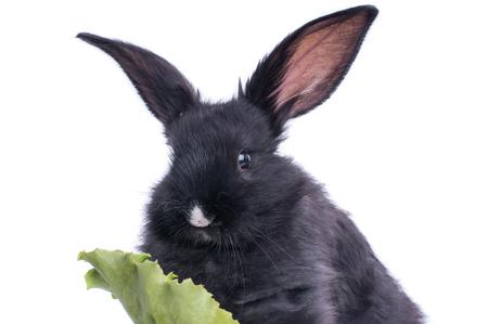 close-up of cute black rabbit eating green salad, isolated Standard-Bild - 95842857