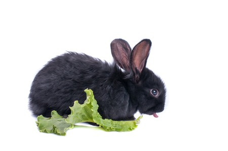 close-up of cute black rabbit eating green salad, isolated Standard-Bild - 95872993