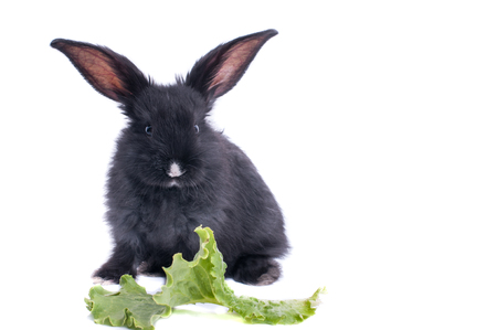 close-up of cute black rabbit eating green salad, isolated Standard-Bild - 96406428