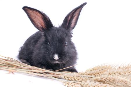 Nahaufnahme des netten schwarzen Kaninchens des weißen Hintergrundes Standard-Bild - 95914734
