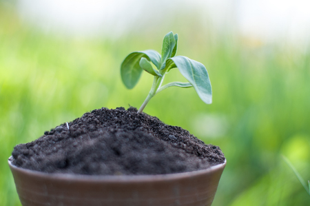 The seedling are growing from the rich soil to the morning sunlight that is shining, ecology concept. Standard-Bild - 96174518