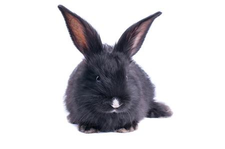 Schwarzes Kaninchen vor weißem Hintergrund . Isoliert Standard-Bild - 99322205