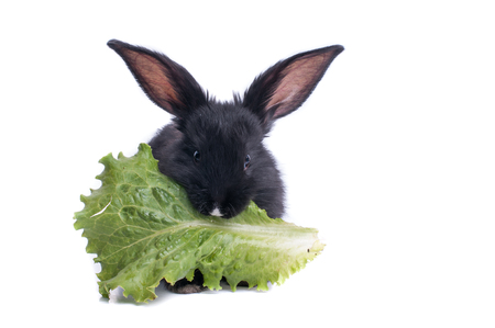 close-up of cute black rabbit eating green salad, isolated Stock Photo