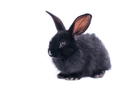 Black rabbit in front of white background. isolated