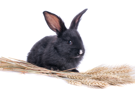 close-up of cute black rabbit of white background.