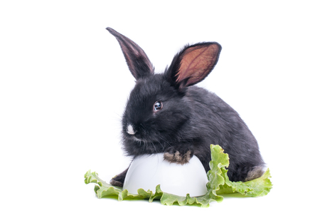 close-up of cute black rabbit eating green salad, isolated Standard-Bild - 101530814