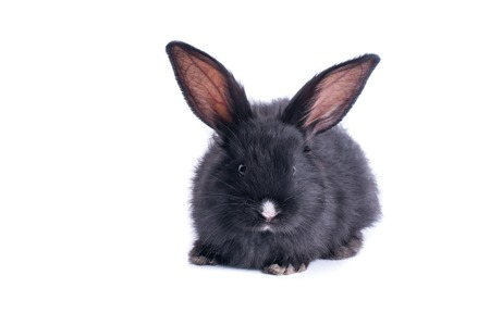 Black rabbit in front of white background. isolated Standard-Bild - 101613041