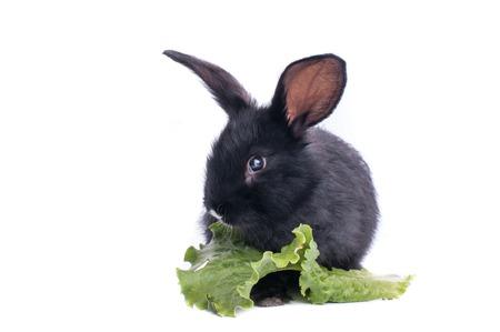 close-up of cute black rabbit eating green salad, isolated Standard-Bild