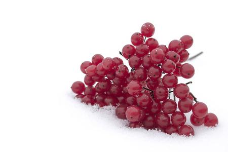 guelderrose: Guelder-rose clusters on white snow