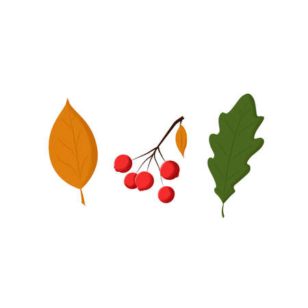 Leaves and berries. Autumn illustrations. Isolated objects on white. Vector. Illustration