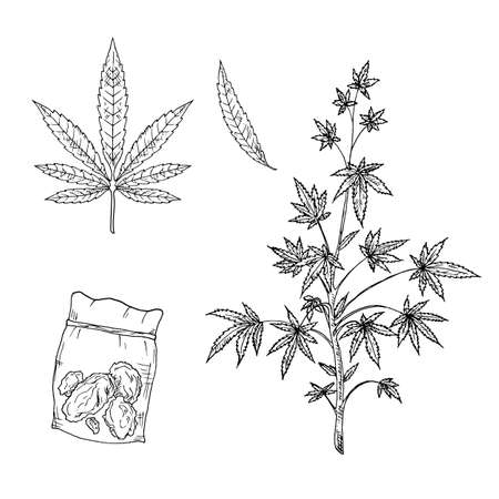 Cannabis. Marijuana plant, leaves and buds. Vector illustrations. Isolated objects on white. Hand-drawn style. Ilustração Vetorial