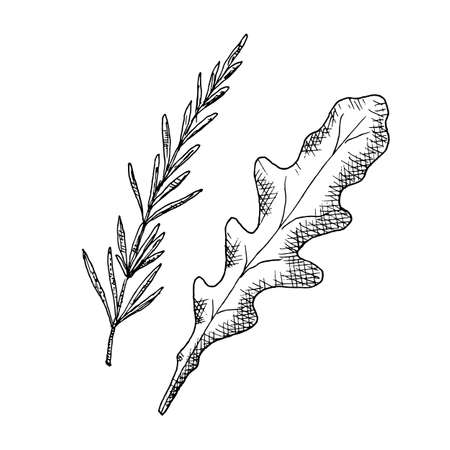 Arugula leaf and rosemary branch. Vector illustrations. Isolated on white. Hand-drawn style. Vecteurs