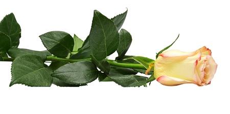 yelow roses isolated on white Stock Photo - 13765335