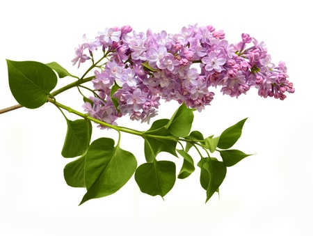 purple lilac: Isolated on a white background of a branch of a lilac with leaves