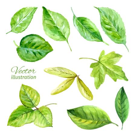 hojas de arbol: Conjunto de primavera deja la acuarela. Vector
