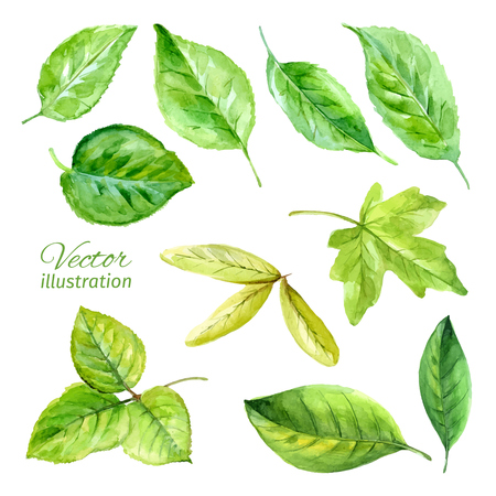watercolor paper: Set of spring leaves watercolor. Vector