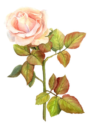 orange rose: Rose watercolor. illustration for greeting cards, invitations, and other printing and projects.