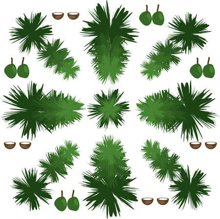 Vector illustration of palm fauns, green coconuts and opened brown  coconuts on a white background.