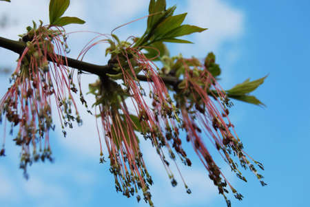 ash tree: ash tree in blossom (Fraxinus excelsior) Stock Photo