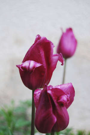 purple tulips rain drops with  in the garden photo