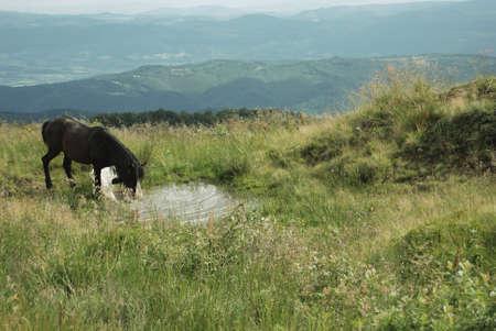 caballo bebe: caballo marr�n oscuro bebe agua en tierras altas