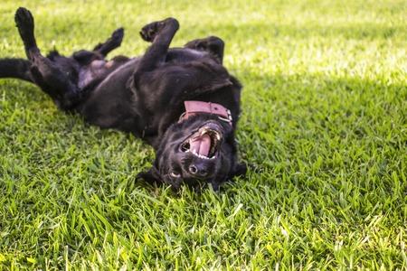 black dog rolls over outside