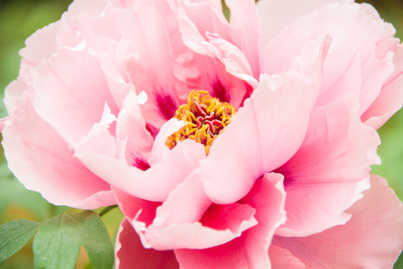 Georgeous peony in a full bloom