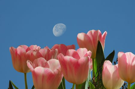 Tulips against a bright blue sky with a moon.
