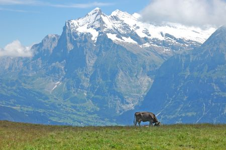 Cow grazing in an idylic alpine pasture in the Swiss Alps.