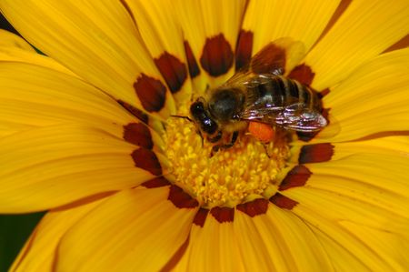 Bee In Coreopsis Flower