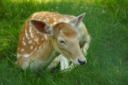 若い雌鹿日陰草で静かに横たわっています。