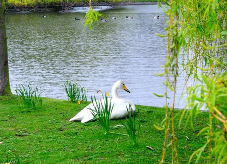 Swan brooding on a spring day in Regents Park