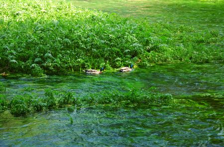 drakes: Pair of Mallard drakes in a stream surrounded by green.