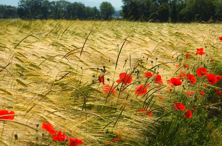 Ripening summer wheat field with blooming poppies.. Stock Photo