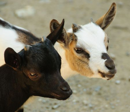 Two Youn Goats