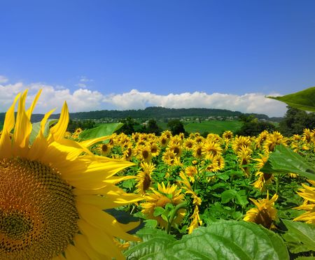 Sunflowers in bloom with background of blue sky and Swiss countryside.