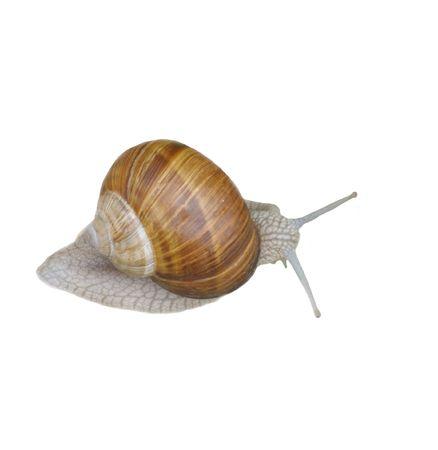 Grey snail isolated on white background. Reklamní fotografie