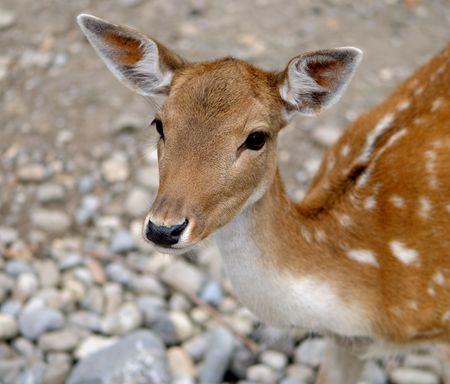 fallow deer: Young Doe Fallow Deer