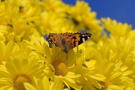 plexippus: Female Monarch butterfly (Danaus plexippus) drinking nectar from a yellow daisy.
