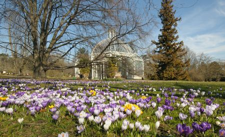 Blossoming Crocus and Greenhouse in a park in the Spring. Stock Photo